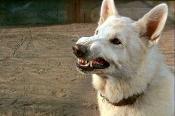 scene from Sam Fuller's White Dog movie
