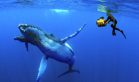 Imax diver photographs humpback whale and calf