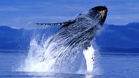 Humpback Whale breaches in Alaska waters