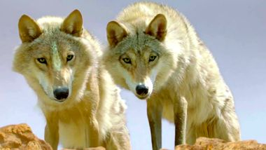 Wolf Totem sees two wolves on ridge survey prey